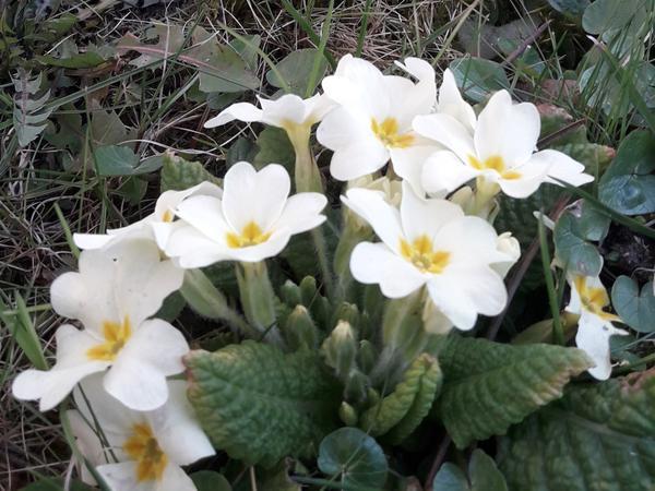 Frühlingsblume aus dem hiphaus Garten c) fmoser
